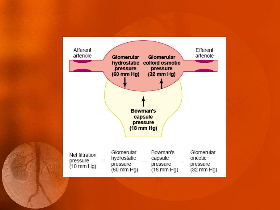 Filtrační rovnováha Onkotický tlak v kapiláře glomerulu roste Rozdíl hydrostatických tlaků zůstává konstantní Čistý filtrační tlak klesá