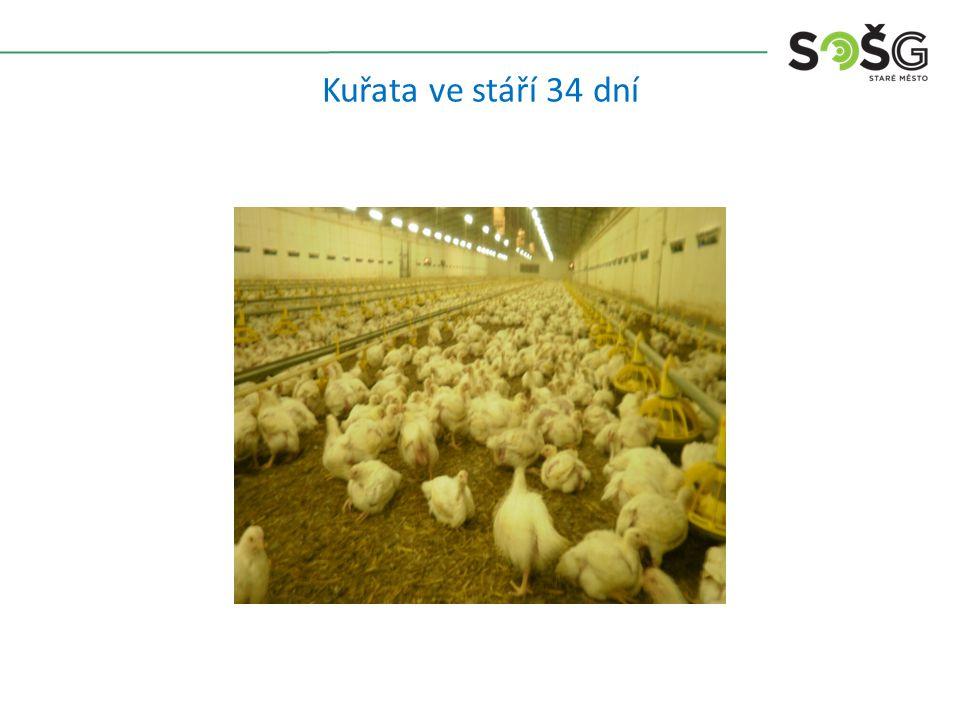 Kuřata ve stáří 34 dní