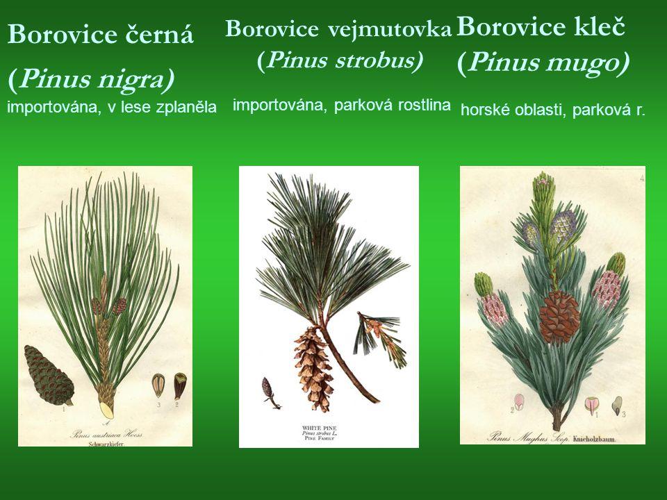 Borovice černá (Pinus nigra) importována, v lese zplaněla Borovice vejmutovka (Pinus strobus) importována, parková rostlina Borovice kleč (Pinus mugo) horské oblasti, parková r.