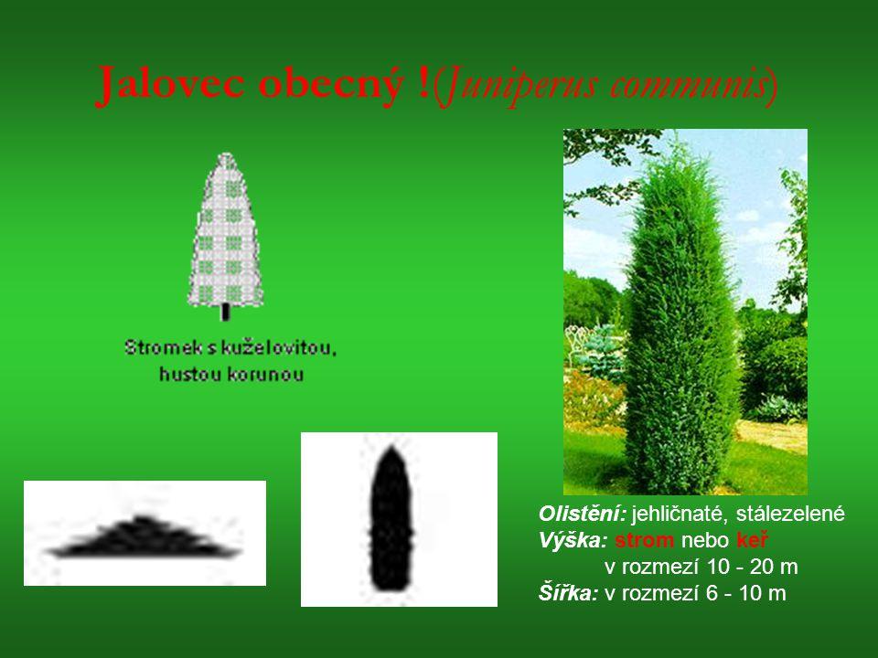 Jalovec obecný !(Juniperus communis) Olistění: jehličnaté, stálezelené Výška: strom nebo keř v rozmezí 10 - 20 m Šířka: v rozmezí 6 - 10 m