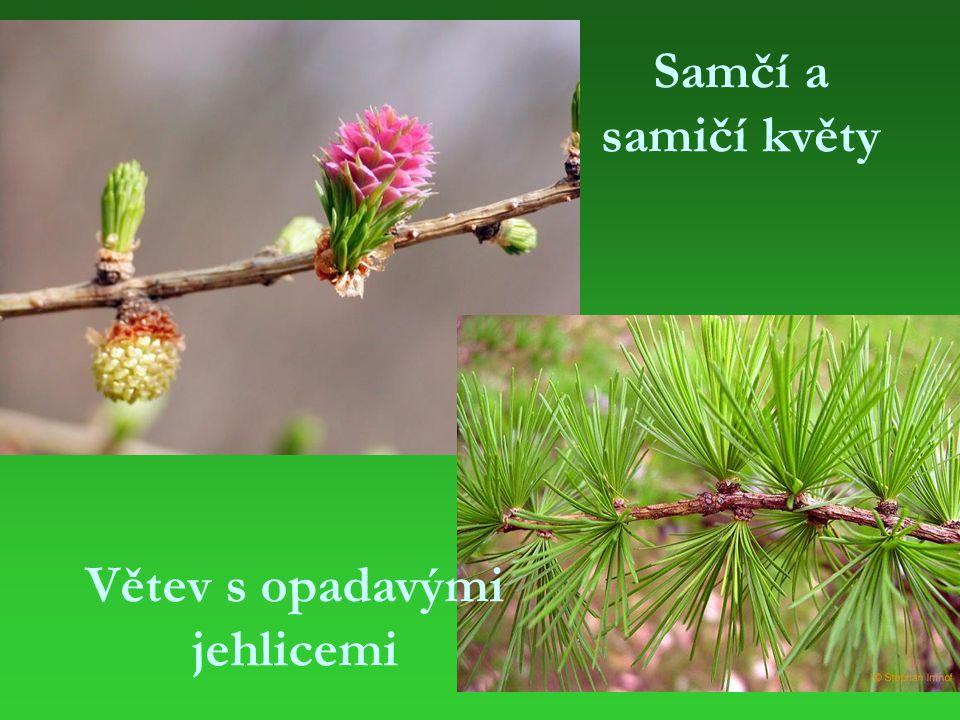 Samčí a samičí květy Větev s opadavými jehlicemi