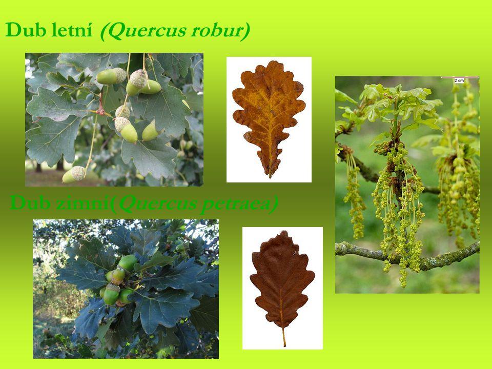 Dub zimní(Quercus petraea) Dub letní (Quercus robur)