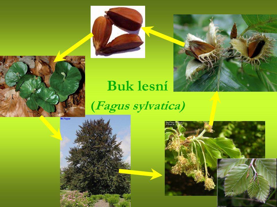 Buk lesní (Fagus sylvatica)