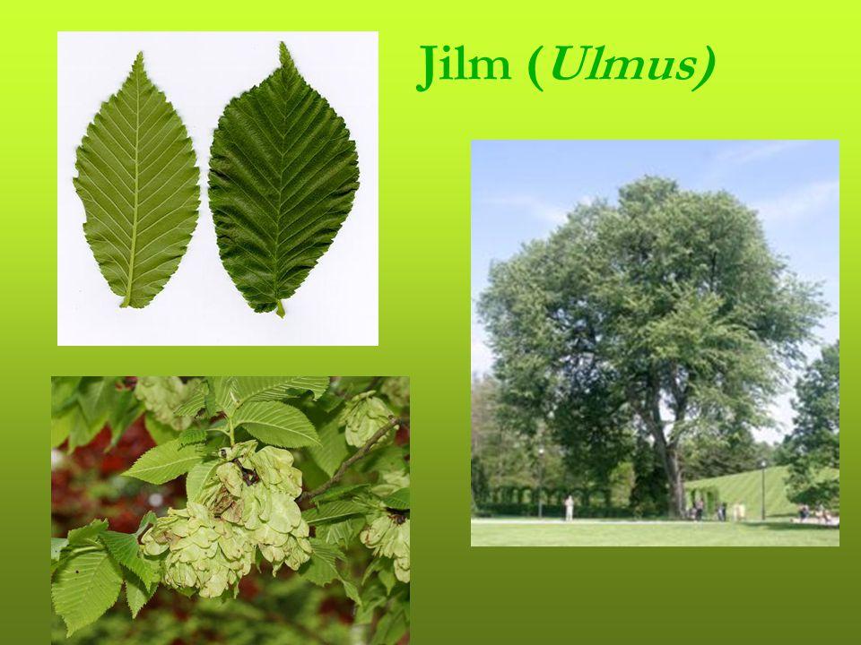 Jilm (Ulmus)