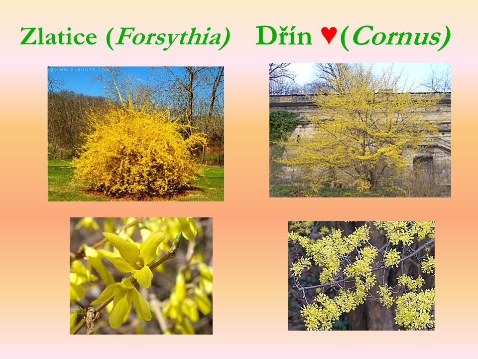 Dřín ♥(Cornus) Zlatice (Forsythia)