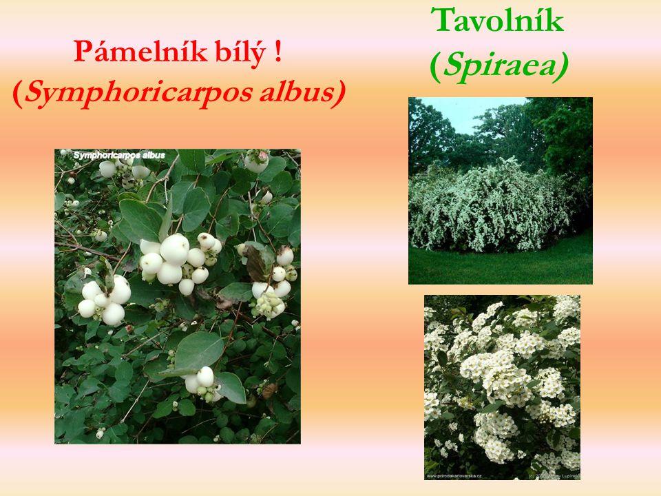 Pámelník bílý ! (Symphoricarpos albus) Tavolník (Spiraea)