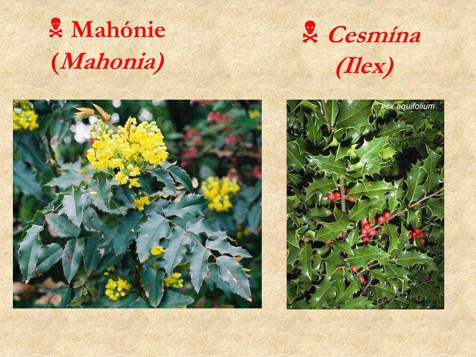  Mahónie (Mahonia)  Cesmína (Ilex)