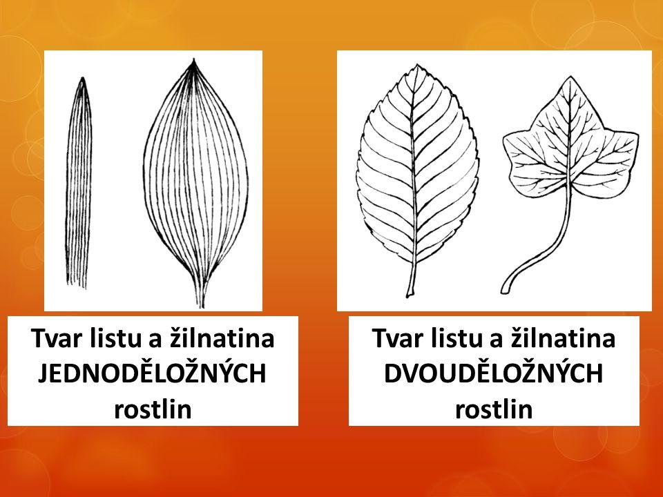 Tvar listu a žilnatina JEDNODĚLOŽNÝCH rostlin Tvar listu a žilnatina DVOUDĚLOŽNÝCH rostlin