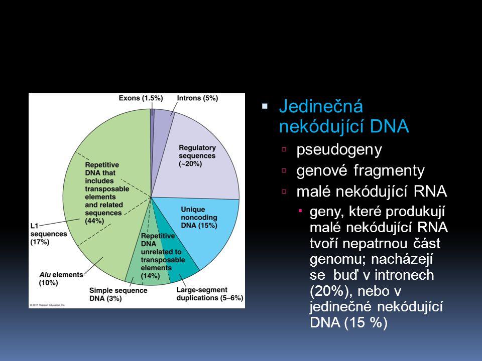  Jedinečná nekódující DNA  pseudogeny  genové fragmenty  malé nekódující RNA  geny, které produkují malé nekódující RNA tvoří nepatrnou část genomu; nacházejí se buď v intronech (20%), nebo v jedinečné nekódující DNA (15 %)