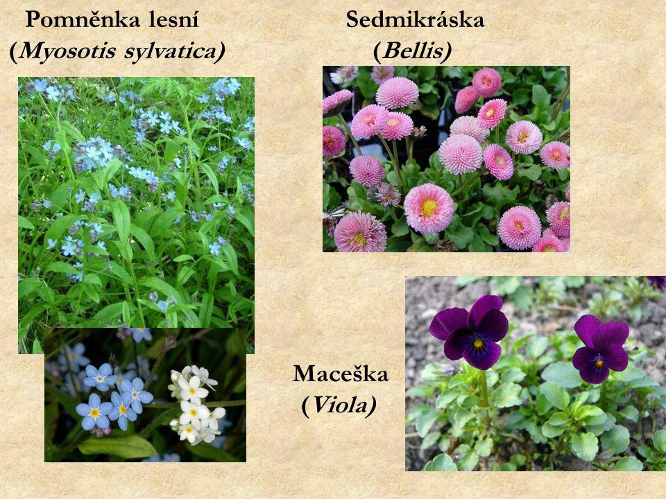 Pomněnka lesní (Myosotis sylvatica) Sedmikráska (Bellis) Maceška (Viola)