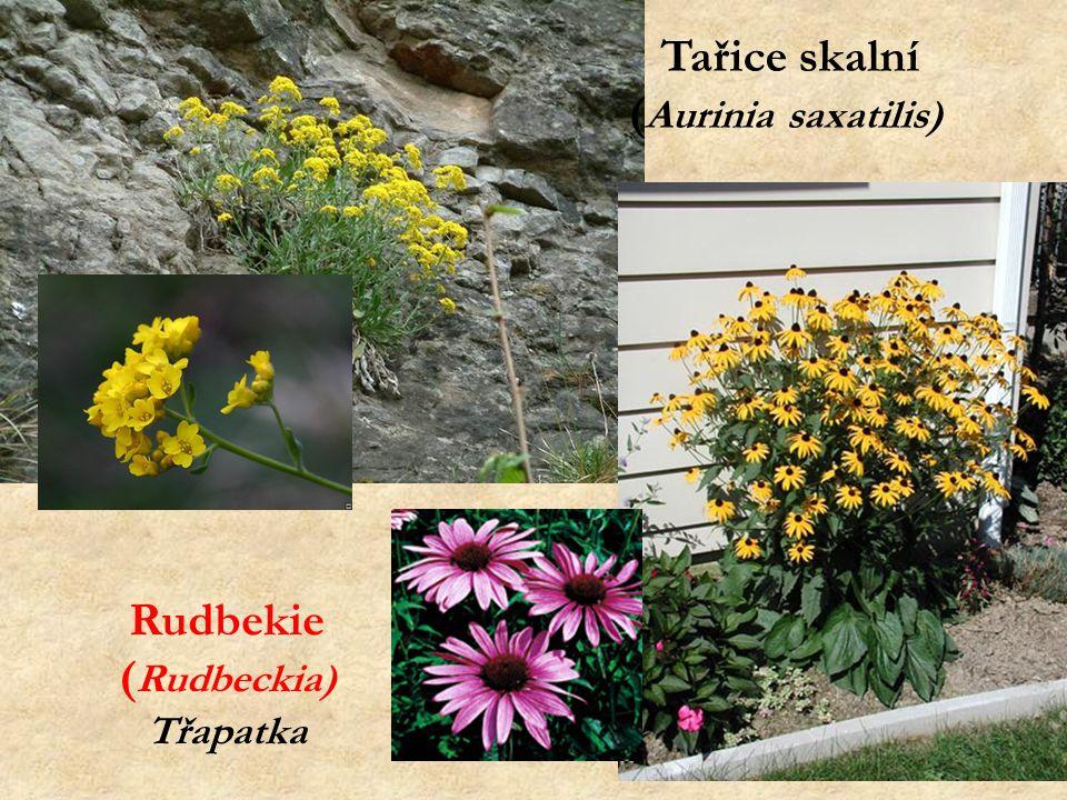 Tařice skalní ( Aurinia saxatilis) Rudbekie ( Rudbeckia) Třapatka