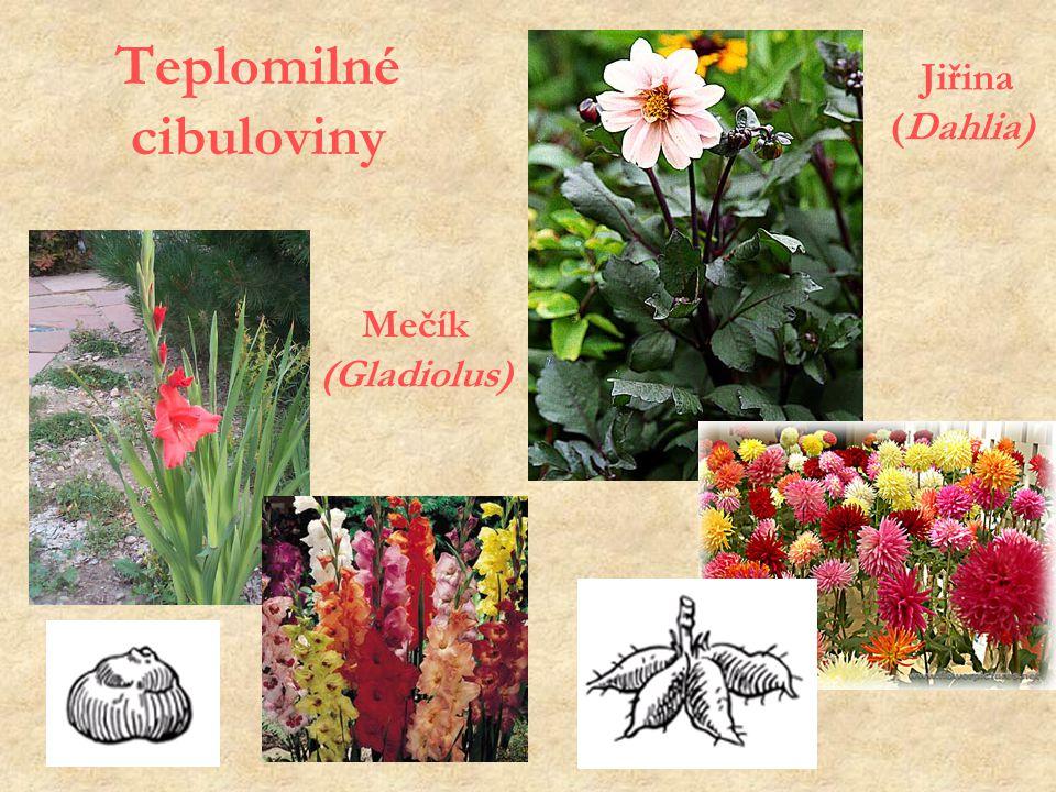 Teplomilné cibuloviny Mečík (Gladiolus) Jiřina (Dahlia)