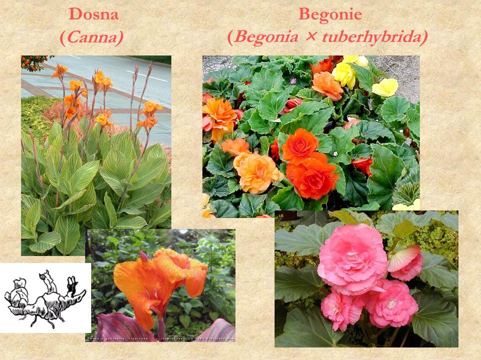 Dosna (Canna) Begonie (Begonia × tuberhybrida)