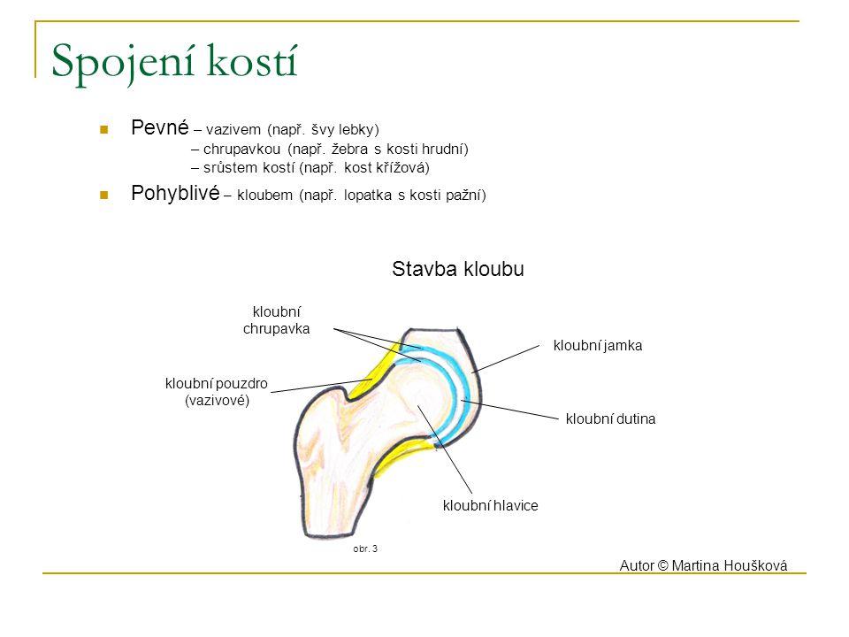 obr. 3 Pevné – vazivem (např. švy lebky) – chrupavkou (např. žebra s kosti hrudní) – srůstem kostí (např. kost křížová) Pohyblivé – kloubem (např. lop