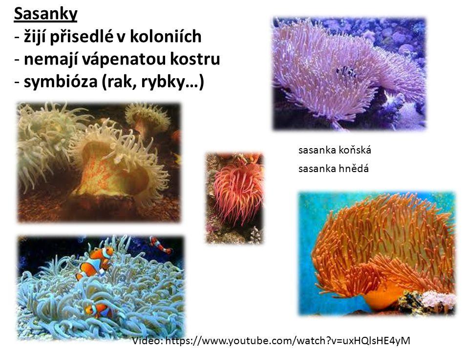 Sasanky - žijí přisedlé v koloniích - nemají vápenatou kostru - symbióza (rak, rybky…) sasanka koňská sasanka hnědá Video: https://www.youtube.com/watch?v=uxHQlsHE4yM