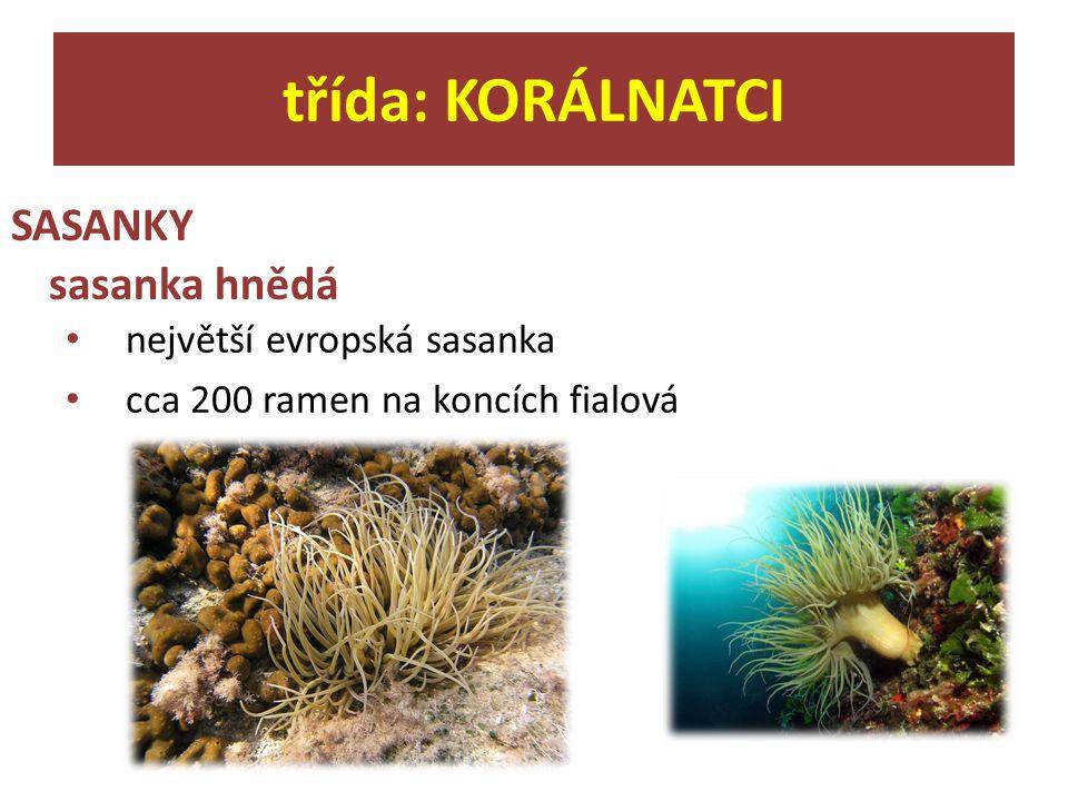třída: KORÁLNATCI SASANKY sasanka hnědá největší evropská sasanka cca 200 ramen na koncích fialová