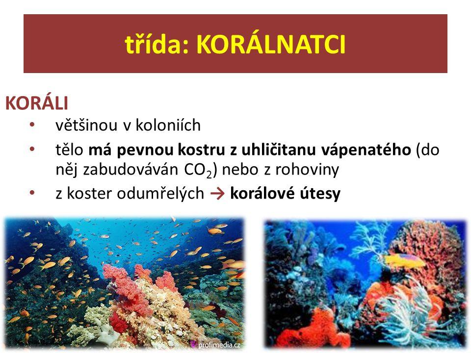 KORÁLI většinou v koloniích tělo má pevnou kostru z uhličitanu vápenatého (do něj zabudováván CO 2 ) nebo z rohoviny z koster odumřelých → korálové út