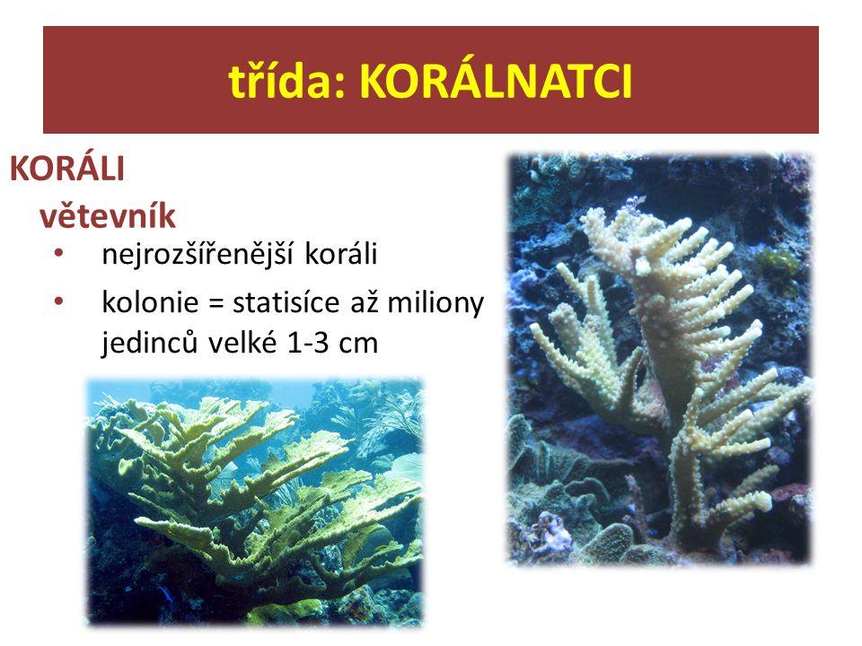 KORÁLI třída: KORÁLNATCI větevník nejrozšířenější koráli kolonie = statisíce až miliony jedinců velké 1-3 cm