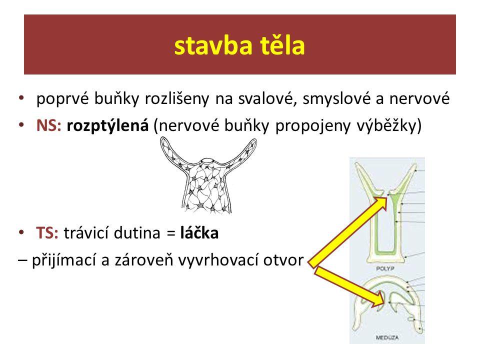 poprvé buňky rozlišeny na svalové, smyslové a nervové NS: rozptýlená (nervové buňky propojeny výběžky) TS: trávicí dutina = láčka – přijímací a zárove