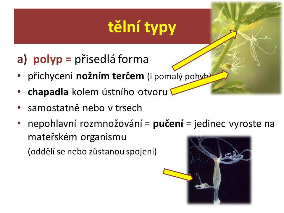 a)polyp = přisedlá forma přichyceni nožním terčem (i pomalý pohyb) chapadla kolem ústního otvoru samostatně nebo v trsech nepohlavní rozmnožování = pu