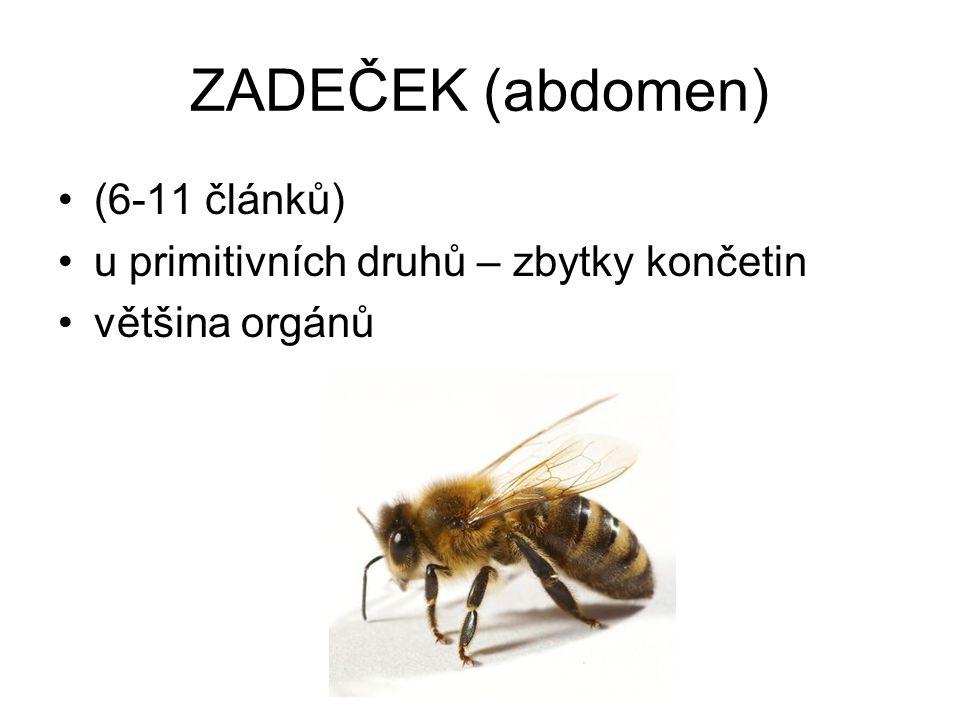 ZADEČEK (abdomen) (6-11 článků) u primitivních druhů – zbytky končetin většina orgánů