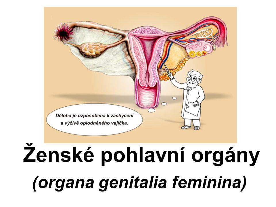 Ženské pohlavní orgány (organa genitalia feminina)