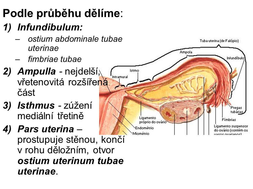 Podle průběhu dělíme: 1)Infundibulum: –ostium abdominale tubae uterinae –fimbriae tubae 2)Ampulla - nejdelší, vřetenovitá rozšířená část 3)Isthmus - zúžení mediální třetině 4)Pars uterina – prostupuje stěnou, končí v rohu děložním, otvor ostium uterinum tubae uterinae.