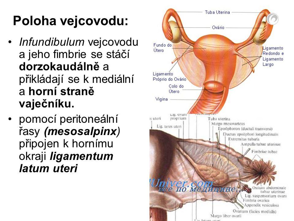 Poloha vejcovodu: Infundibulum vejcovodu a jeho fimbrie se stáčí dorzokaudálně a přikládají se k mediální a horní straně vaječníku.