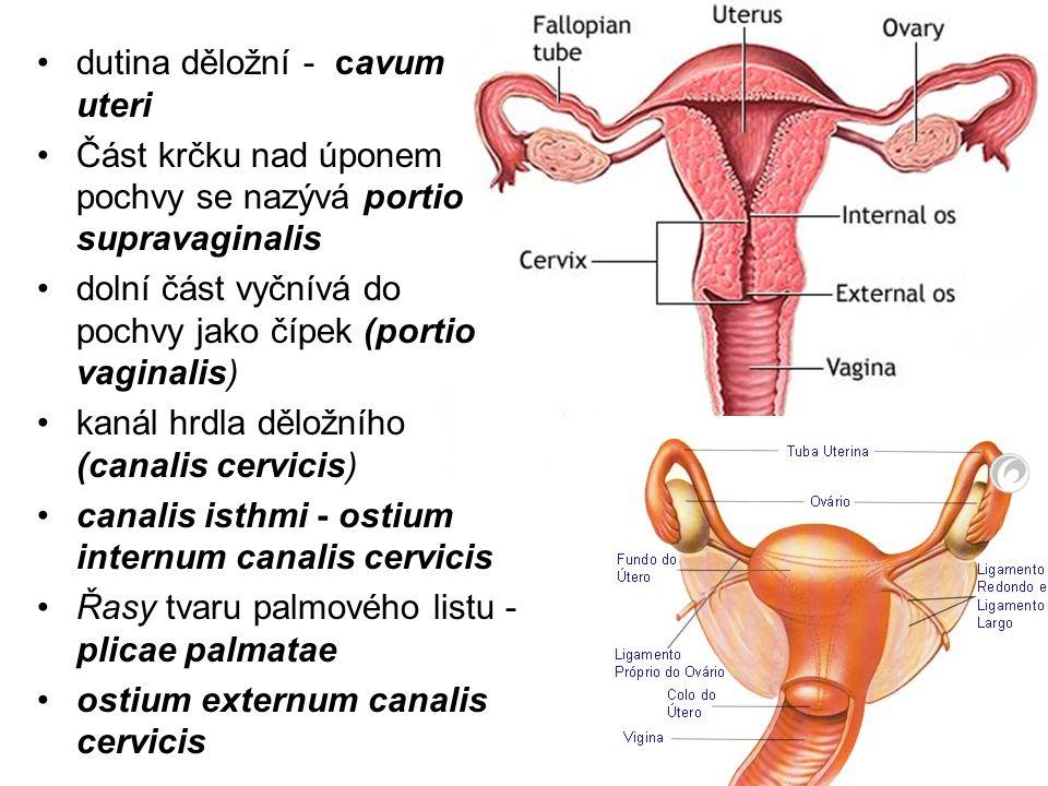 dutina děložní - cavum uteri Část krčku nad úponem pochvy se nazývá portio supravaginalis dolní část vyčnívá do pochvy jako čípek (portio vaginalis) kanál hrdla děložního (canalis cervicis) canalis isthmi - ostium internum canalis cervicis Řasy tvaru palmového listu - plicae palmatae ostium externum canalis cervicis