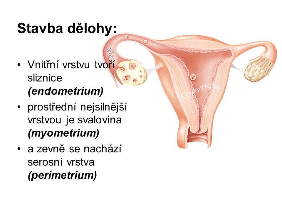 Stavba dělohy: Vnitřní vrstvu tvoří sliznice (endometrium) prostřední nejsilnější vrstvou je svalovina (myometrium) a zevně se nachází serosní vrstva