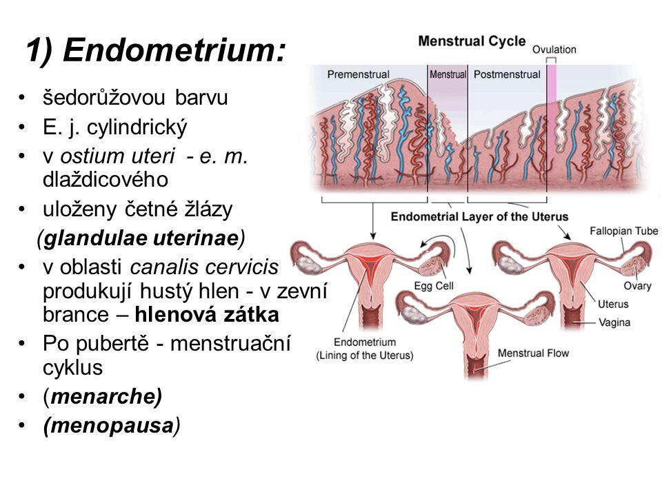 1) Endometrium: šedorůžovou barvu E. j. cylindrický v ostium uteri - e. m. dlaždicového uloženy četné žlázy (glandulae uterinae) v oblasti canalis cer