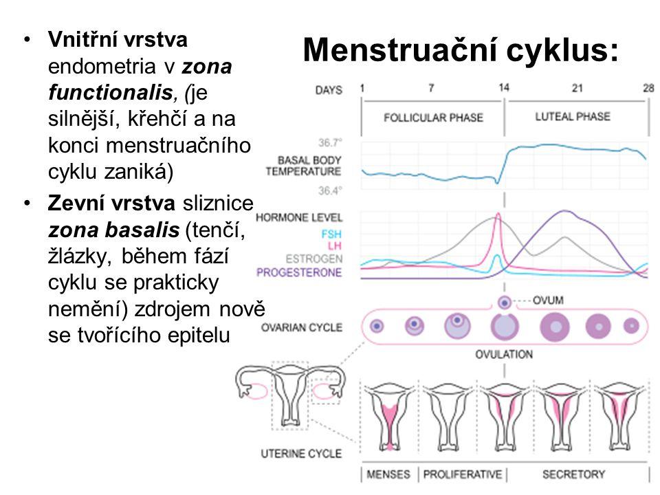 Menstruační cyklus: Vnitřní vrstva endometria v zona functionalis, (je silnější, křehčí a na konci menstruačního cyklu zaniká) Zevní vrstva sliznice zona basalis (tenčí, žlázky, během fází cyklu se prakticky nemění) zdrojem nově se tvořícího epitelu
