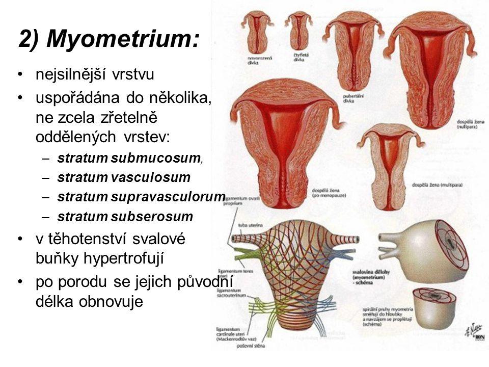 2) Myometrium: nejsilnější vrstvu uspořádána do několika, ne zcela zřetelně oddělených vrstev: –stratum submucosum, –stratum vasculosum –stratum supravasculorum –stratum subserosum v těhotenství svalové buňky hypertrofují po porodu se jejich původní délka obnovuje