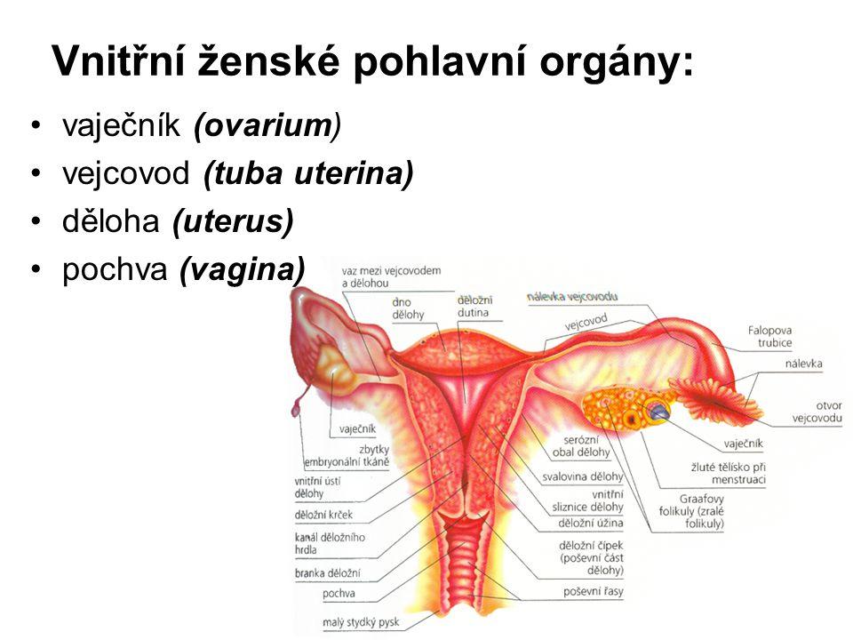 Vnitřní ženské pohlavní orgány: vaječník (ovarium) vejcovod (tuba uterina) děloha (uterus) pochva (vagina)