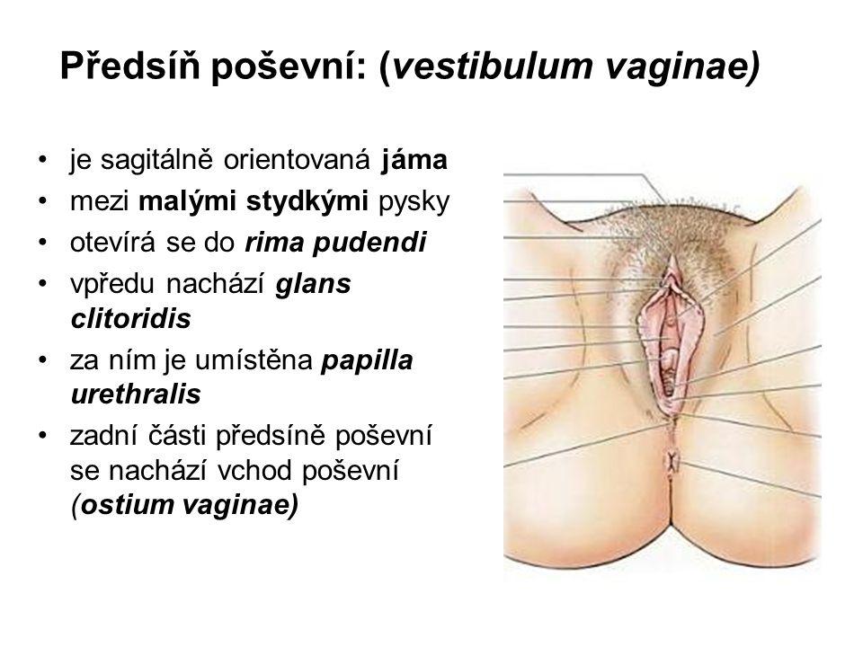 Předsíň poševní: (vestibulum vaginae) je sagitálně orientovaná jáma mezi malými stydkými pysky otevírá se do rima pudendi vpředu nachází glans clitoridis za ním je umístěna papilla urethralis zadní části předsíně poševní se nachází vchod poševní (ostium vaginae)