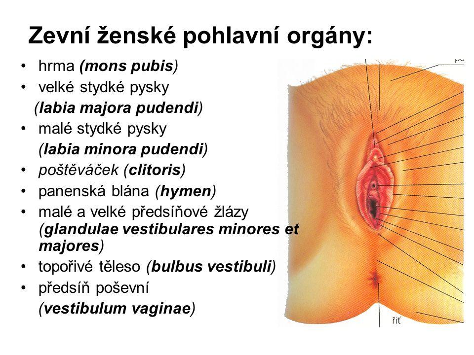 Zevní ženské pohlavní orgány: hrma (mons pubis) velké stydké pysky (labia majora pudendi) malé stydké pysky (labia minora pudendi) poštěváček (clitoris) panenská blána (hymen) malé a velké předsíňové žlázy (glandulae vestibulares minores et majores) topořivé těleso (bulbus vestibuli) předsíň poševní (vestibulum vaginae)