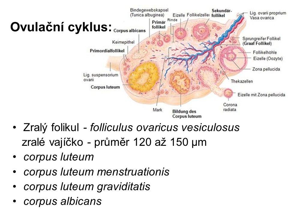 Ovulační cyklus: Zralý folikul - folliculus ovaricus vesiculosus zralé vajíčko - průměr 120 až 150 μm corpus luteum corpus luteum menstruationis corpus luteum graviditatis corpus albicans