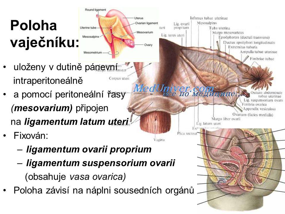 Poloha vaječníku: uloženy v dutině pánevní intraperitoneálně a pomocí peritoneální řasy (mesovarium) připojen na ligamentum latum uteri Fixován: –ligamentum ovarii proprium –ligamentum suspensorium ovarii (obsahuje vasa ovarica) Poloha závisí na náplni sousedních orgánů