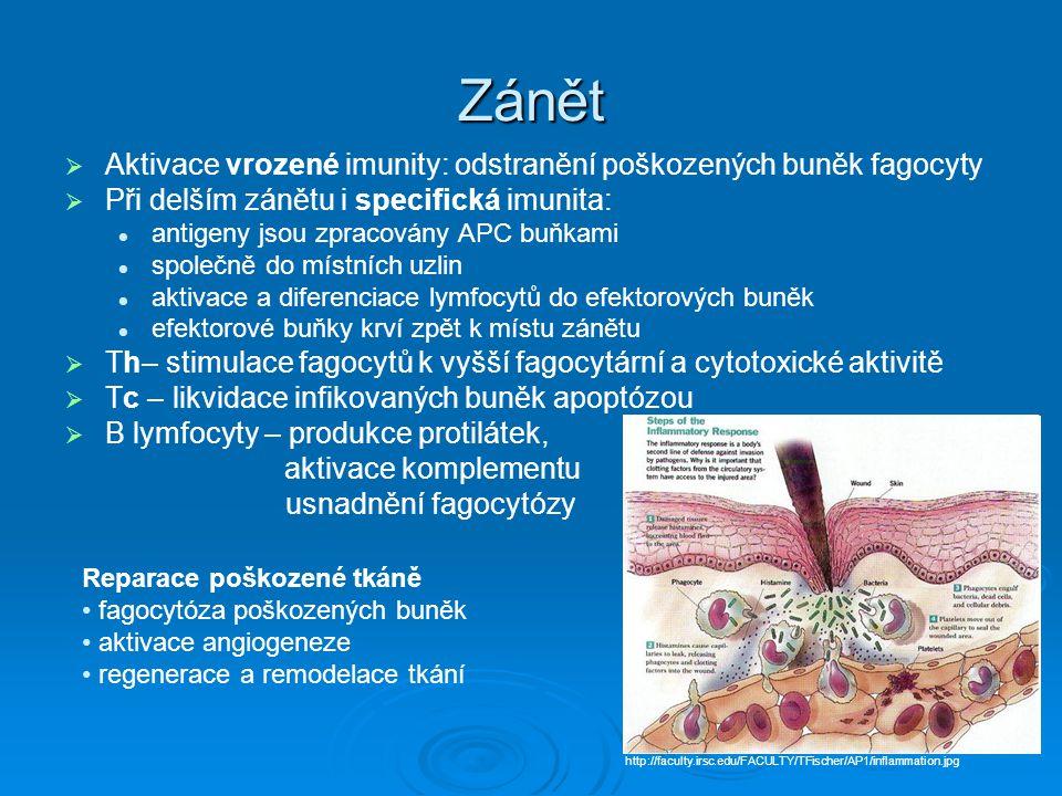 Zánět   Aktivace vrozené imunity: odstranění poškozených buněk fagocyty   Při delším zánětu i specifická imunita: antigeny jsou zpracovány APC buň