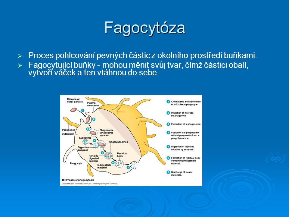 Fagocytóza   Proces pohlcování pevných částic z okolního prostředí buňkami.   Fagocytující buňky - mohou měnit svůj tvar, čímž částici obalí, vytv
