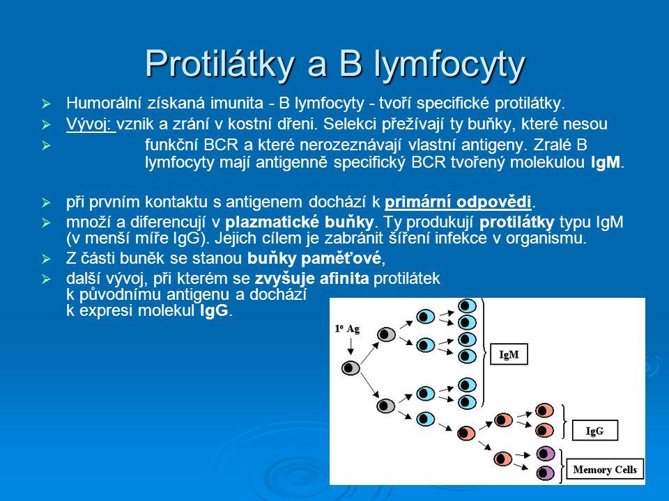 Protilátky a B lymfocyty   Humorální získaná imunita - B lymfocyty - tvoří specifické protilátky.   Vývoj: vznik a zrání v kostní dřeni. Selekci p