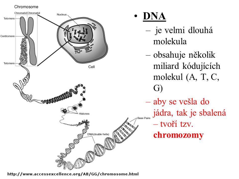 DNA – je velmi dlouhá molekula –obsahuje několik miliard kódujících molekul (A, T, C, G) –aby se vešla do jádra, tak je sbalená – tvoří tzv. chromozom