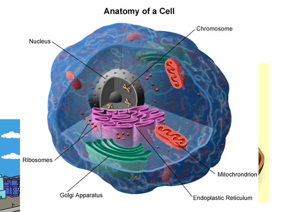 –mitochondrie (tzv. buněčné elektrárny – vytváří se zde energie nutná k životu) v buňce je velký počet mitochondrií
