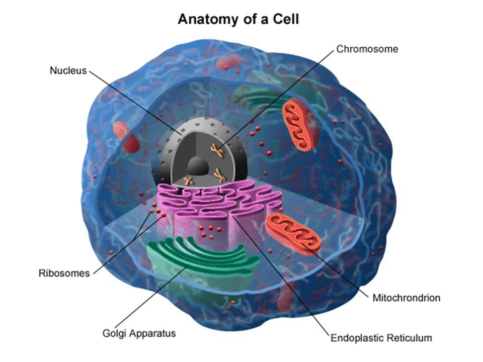 –endoplazmatické retikulum a Golgiho aparát membránové váčky pohybující se v buňkách zajišťují transport látek v buňkách –vyměšování a přijímání látek