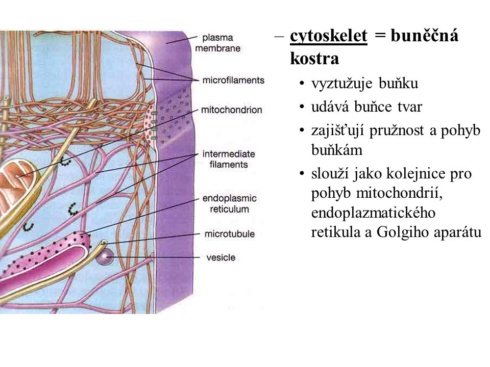 –cytoskelet = buněčná kostra vyztužuje buňku udává buňce tvar zajišťují pružnost a pohyb buňkám slouží jako kolejnice pro pohyb mitochondrií, endoplaz