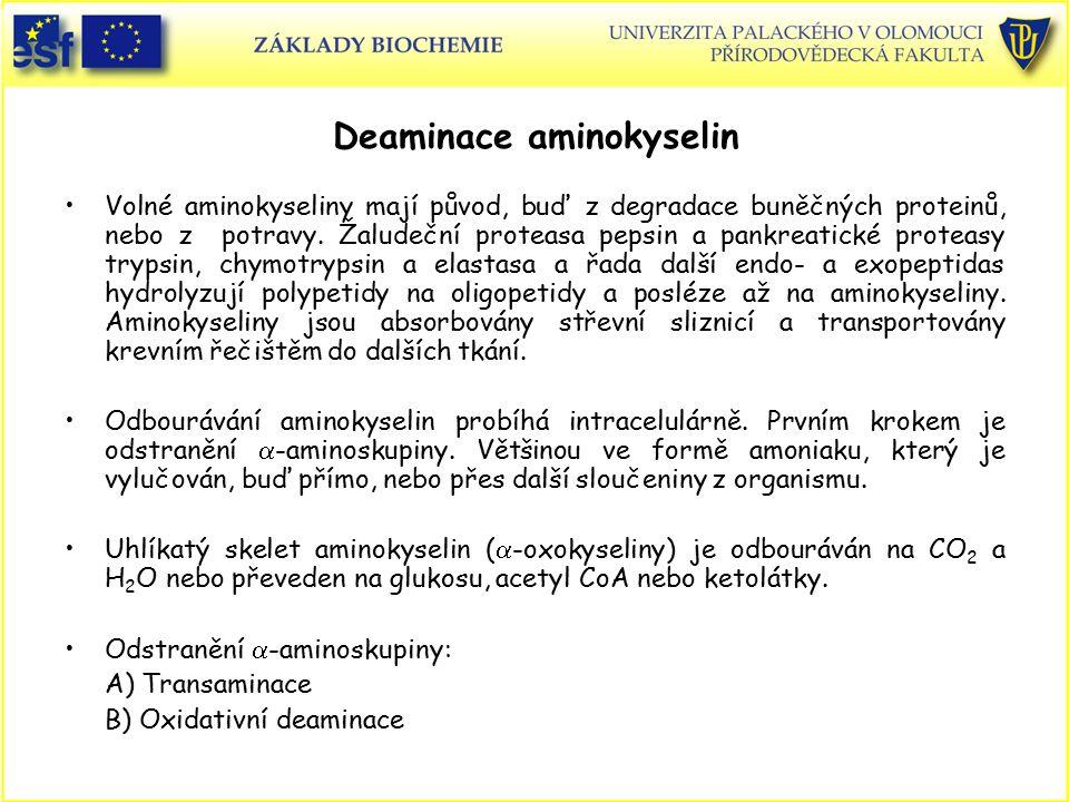 Deaminace aminokyselin Volné aminokyseliny mají původ, buď z degradace buněčných proteinů, nebo z potravy. Žaludeční proteasa pepsin a pankreatické pr