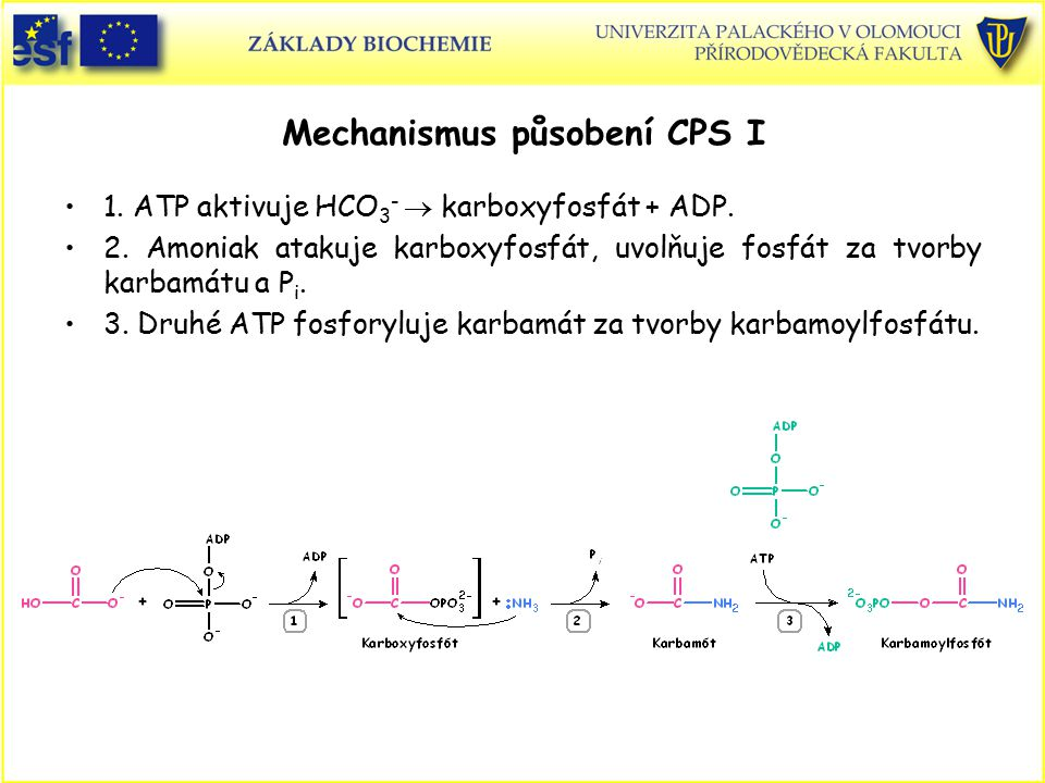 Mechanismus působení CPS I 1. ATP aktivuje HCO 3 -  karboxyfosfát + ADP. 2. Amoniak atakuje karboxyfosfát, uvolňuje fosfát za tvorby karbamátu a P i.