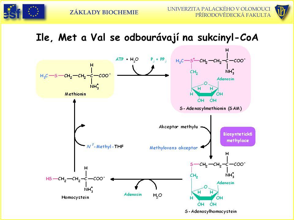 Ile, Met a Val se odbourávají na sukcinyl-CoA