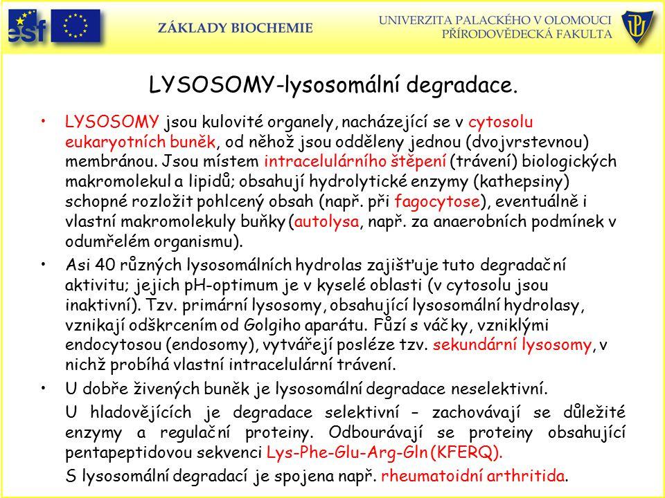 LYSOSOMY-lysosomální degradace. LYSOSOMY jsou kulovité organely, nacházející se v cytosolu eukaryotních buněk, od něhož jsou odděleny jednou (dvojvrst