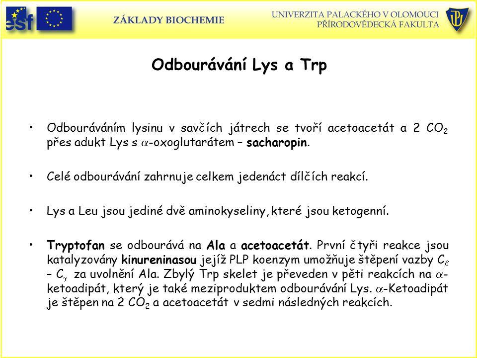 Odbourávání Lys a Trp Odbouráváním lysinu v savčích játrech se tvoří acetoacetát a 2 CO 2 přes adukt Lys s  -oxoglutarátem – sacharopin. Celé odbourá
